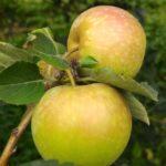 Mencicipi Manisnya Apel Malang di Wisata Petik Apel Mandiri